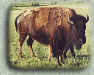 Buffalo Groves, inc  ~ Bison For Sale ~ Buffalo For Sale