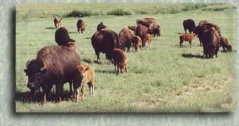 Buffalo Groves, inc  ~ Bison For Sale ~ Buffalo For Sale